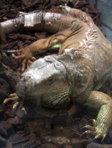 iguia
